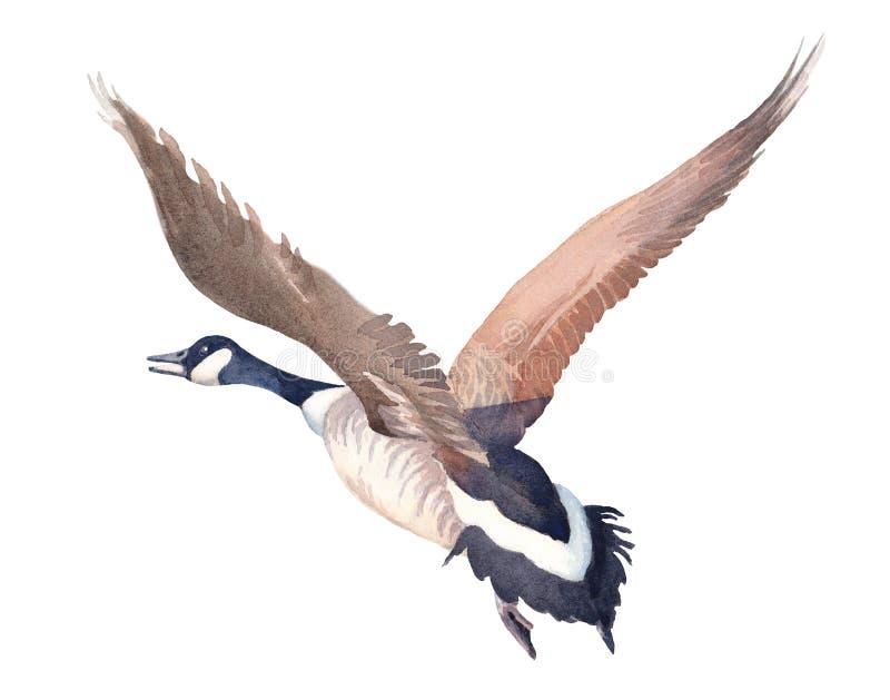 Bosquejo exhausto de la mano de volar el ganso de Canadá en un fondo blanco stock de ilustración