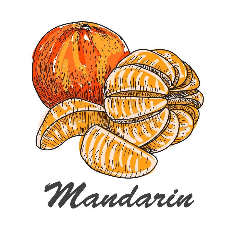 Bosquejo hecho a mano del vector de mandarines en estilo del vintage libre illustration