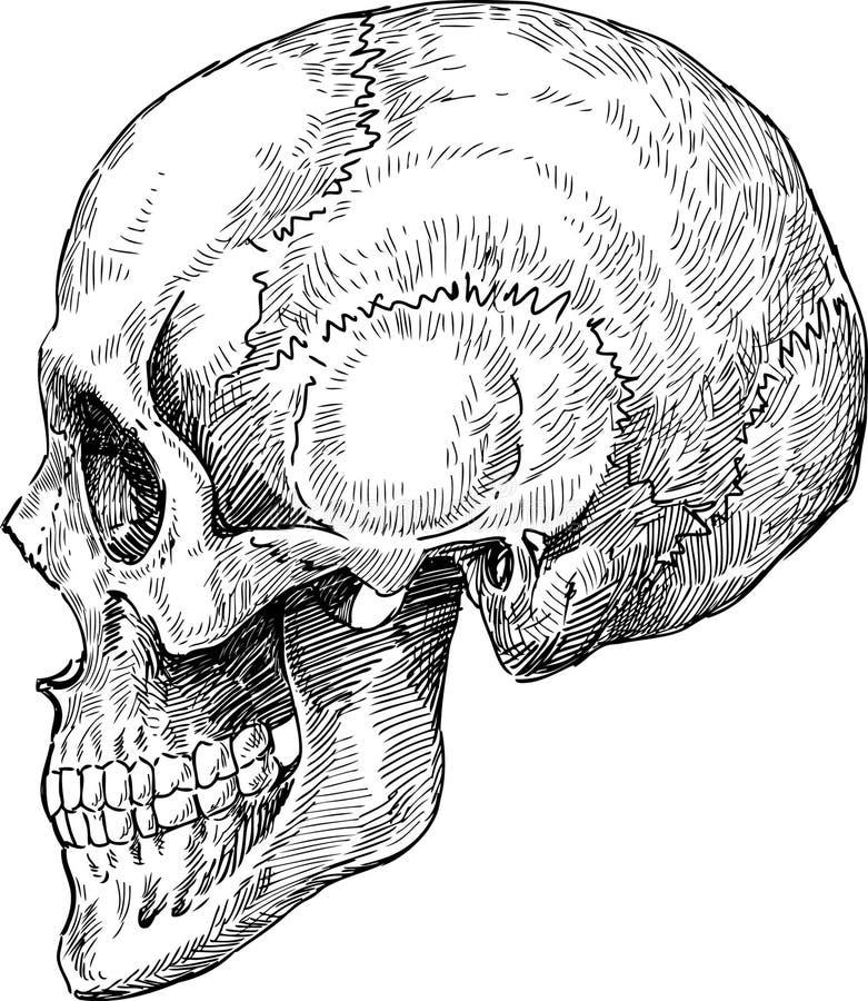 Bosquejo humano del cráneo ilustración del vector