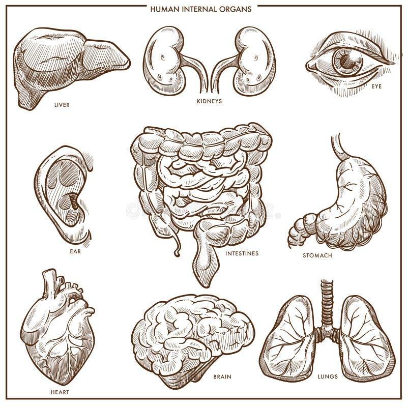 Bosquejo humano del vector de los órganos internos libre illustration