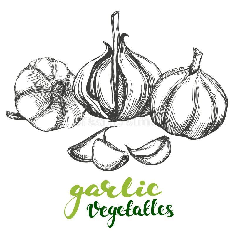 Bosquejo realista dibujado mano determinada del ejemplo del vector de la verdura del ajo libre illustration