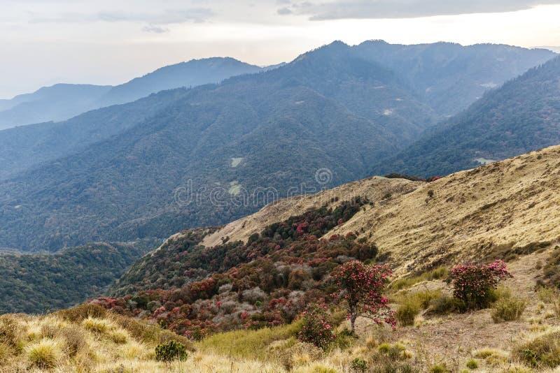 Bosques hermosos del rododendro imagen de archivo
