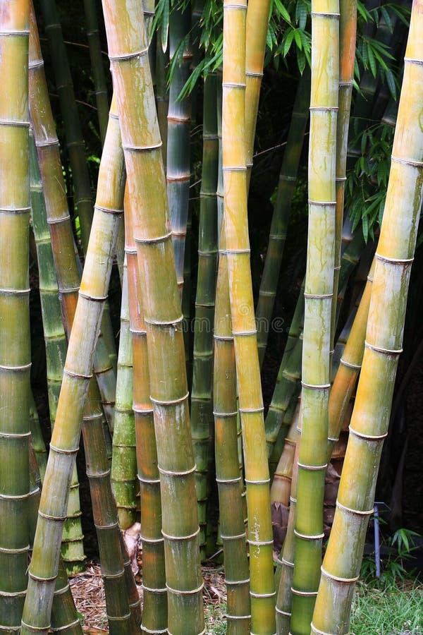 Bosquet en bambou photo stock