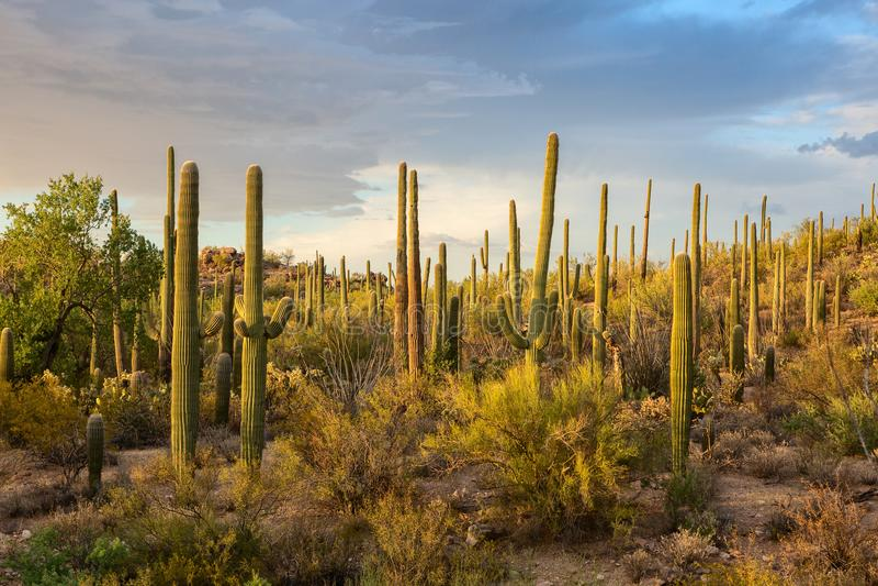 Bosquets de cactus dans les rayons du coucher de soleil, parc national de Saguaro, Arizona du sud-est, Etats-Unis image stock