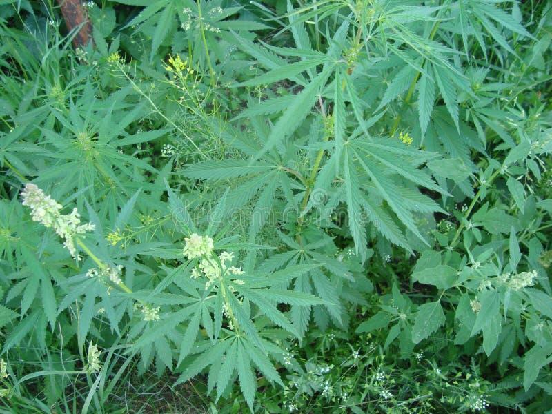 Bosquets de lat de cannabis de chanvre Nnabis de ¡ de CÃ dans le pays image stock