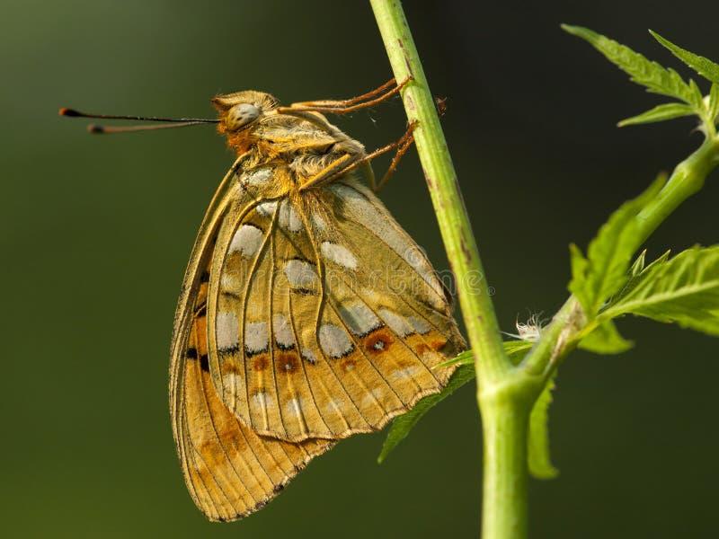 Bosrandparelmoervlinder,高布朗贝母 免版税图库摄影
