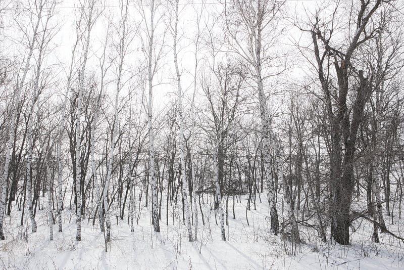 Bosriem van berken in de winter stock afbeeldingen