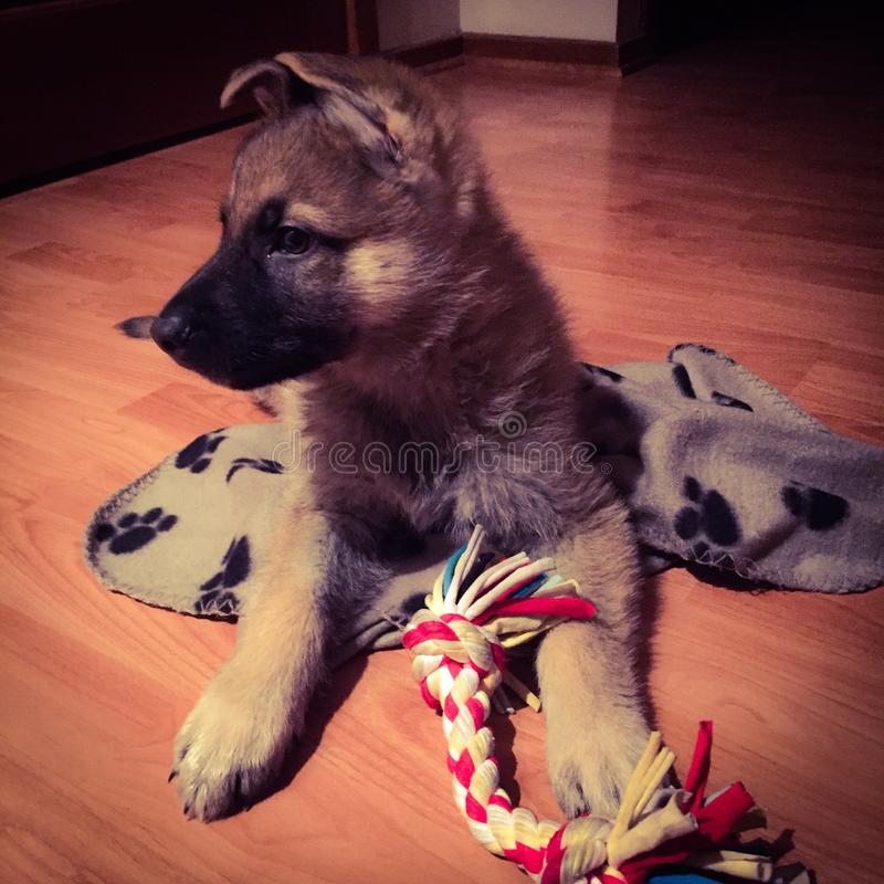 Boss the german shepherd puppy. Inside play loves toys smart floppy ears chubby paws stock image