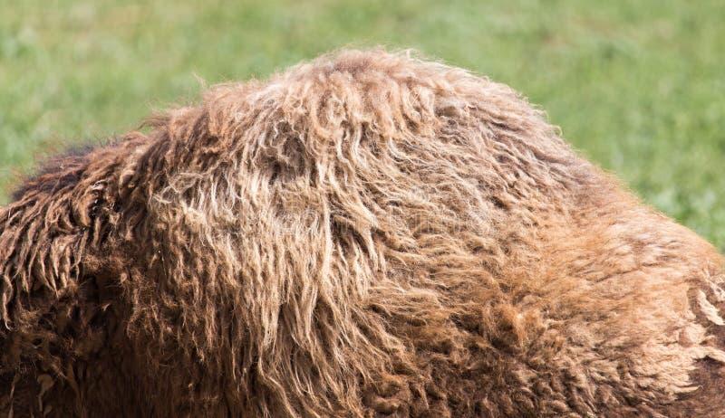 Bosse du ` s de chameau photo stock