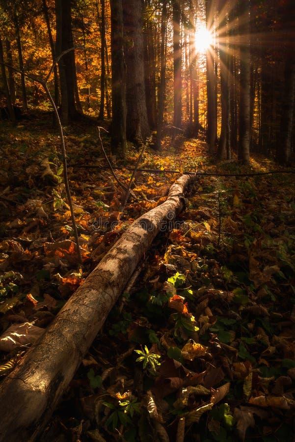 Bossen op zonsopgang met de zon achter de bomen die licht werpen op de omgevallen bladeren en een boomstam in de voorgrond stock afbeeldingen
