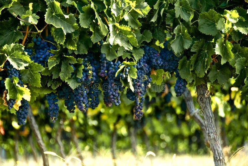 Bossen van Franse rode wijndruiven die op de wijnstok bij een wijngaard in landelijk Frankrijk klaar voor oogst groeien alvorens B stock afbeelding
