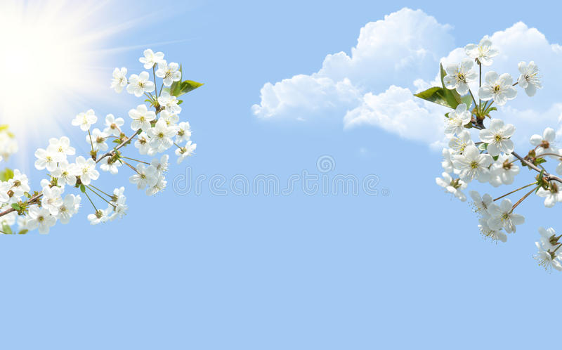 Bossen van kersenbloesem royalty-vrije stock afbeelding