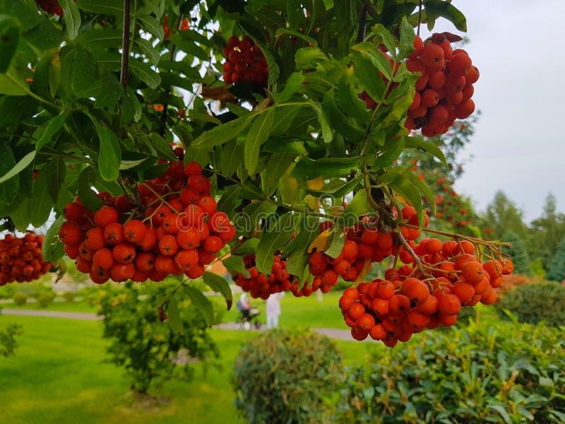 Bossen van lijsterbes op een tak op de achtergrond van het park Autumn Clouse RE royalty-vrije stock foto