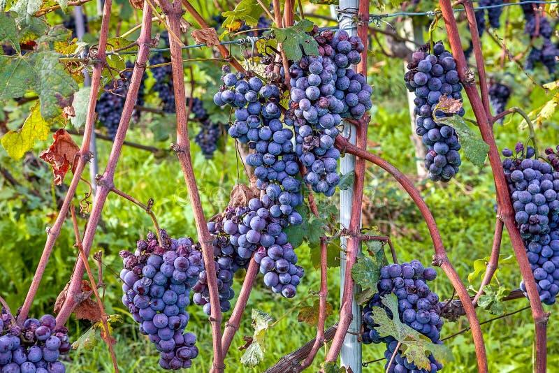 Bossen van rijpe druiven royalty-vrije stock afbeelding