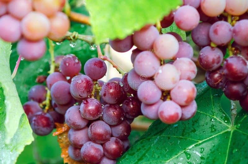 Bossen van rijpe rode druiven met dauwdalingen royalty-vrije stock foto's