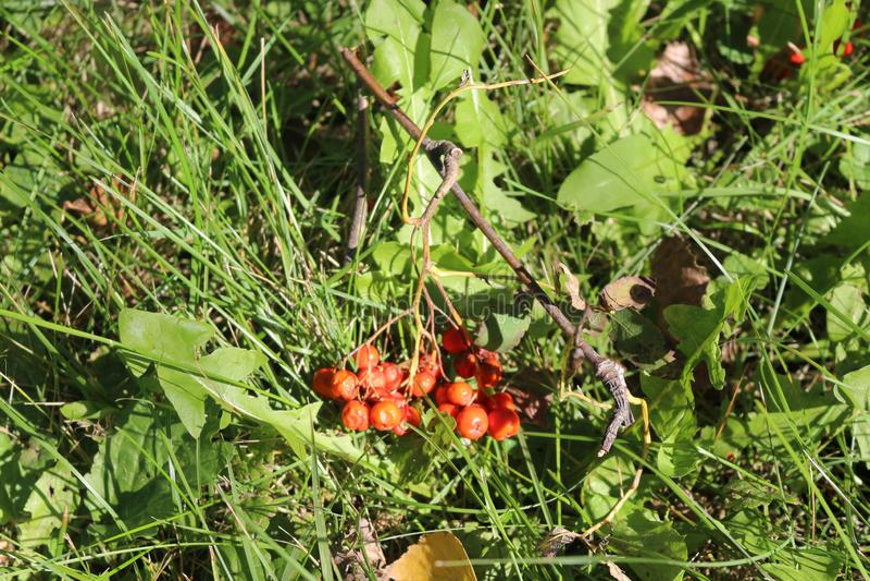 Bossen van rode lijsterbessenbessen die op het gras liggen stock foto