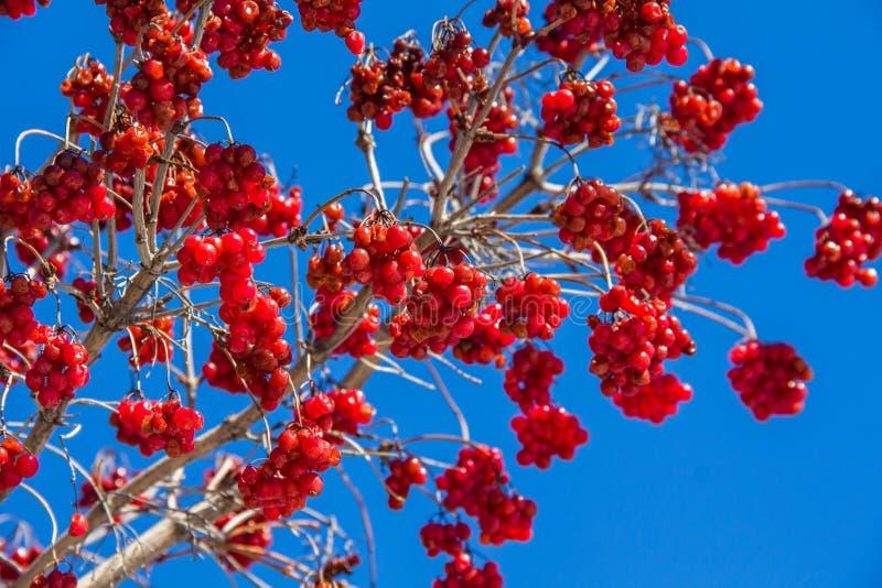 Bossen van rode viburnum op een achtergrond van blauwe hemel royalty-vrije stock fotografie