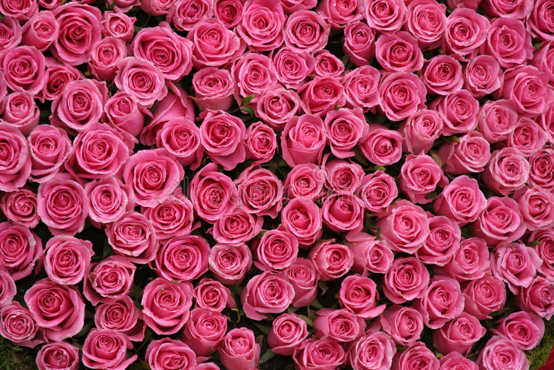 Bossen van roze rozen royalty-vrije stock foto