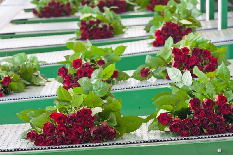 Bossen van rozen bij een transportband stock afbeelding