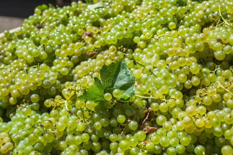 Bossen van Sauvignon Blanc-druiven in wijngaard in oogsttijd royalty-vrije stock afbeelding