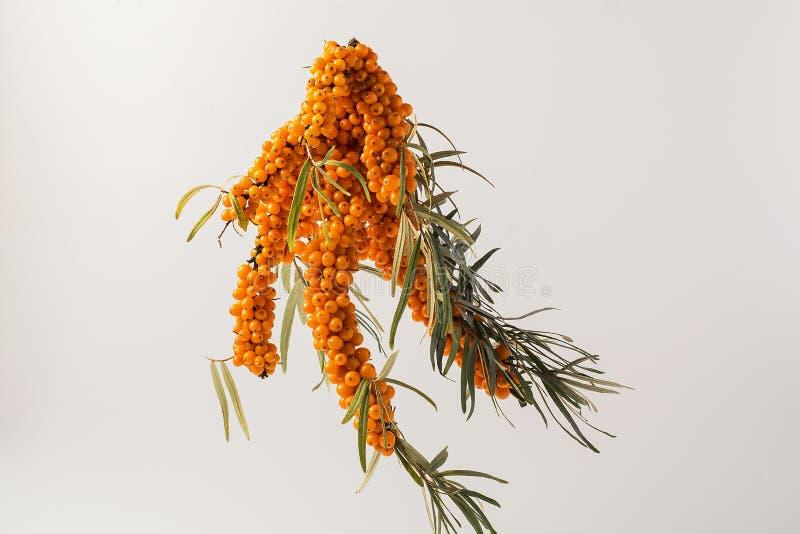 Bossen van verse rijpe oranje duindoornbessen met bladeren royalty-vrije stock foto's