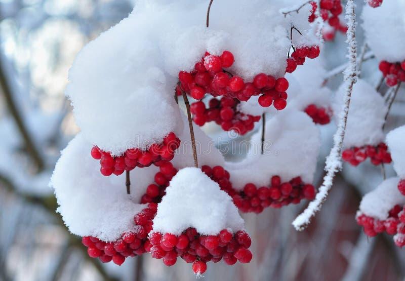 Bossen van viburnum als geïsoleerd voorwerp in de winter stock afbeeldingen