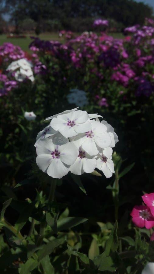 Bossen van witte kleine bloemen royalty-vrije stock afbeeldingen