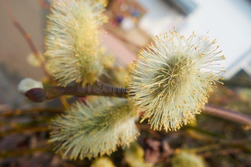 Bossom bianco e giallo dell'albero fotografia stock libera da diritti