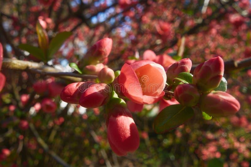 Bossom rosso, albero, molla, gemmate, germoglio fotografia stock libera da diritti