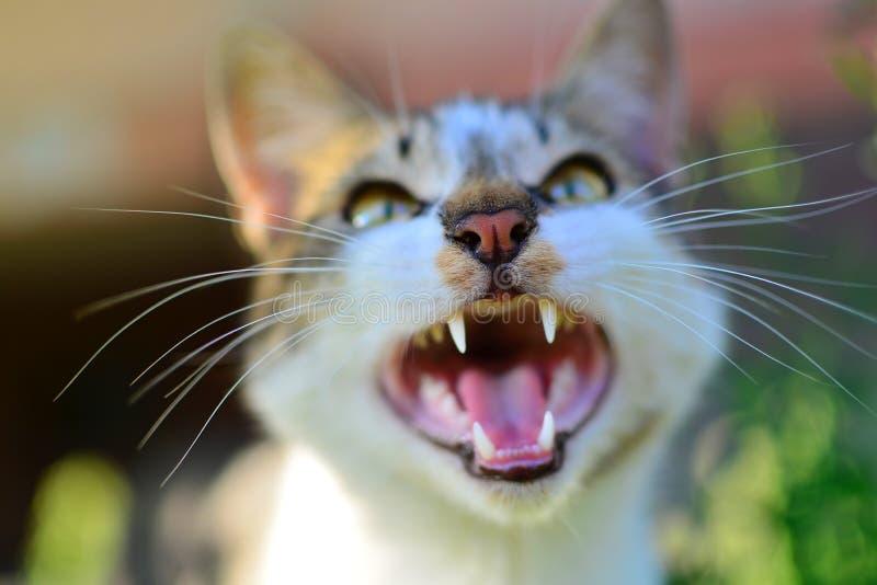 Bostezo del gato con la boca abierta imagenes de archivo