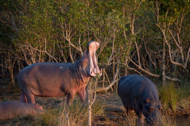 Bostezo del hipopótamo en Suráfrica St Lucia imagen de archivo