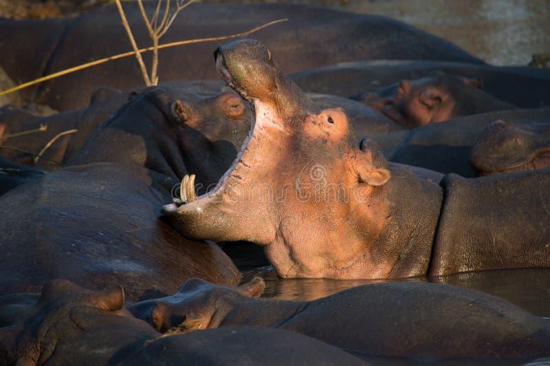 Bostezo del hipopótamo en Suráfrica St Lucia imagenes de archivo