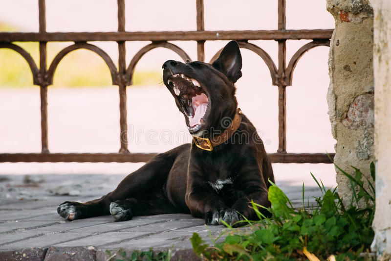Bostezo mezclado tamaño pequeño negro divertido del perro de perrito de la raza al aire libre imagenes de archivo