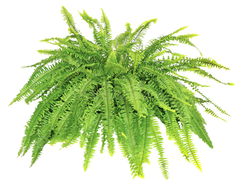 Boston Compacta Fern Isolated on White. Large Boston Compacta Fern Isolated on White stock images