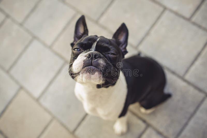 Boston de regard grincheux Terrier image libre de droits