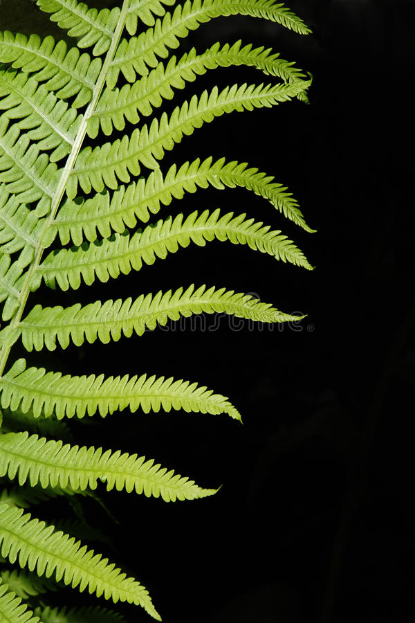 Download Boston Fern Abstract stock photo. Image of nature, lush - 29393702