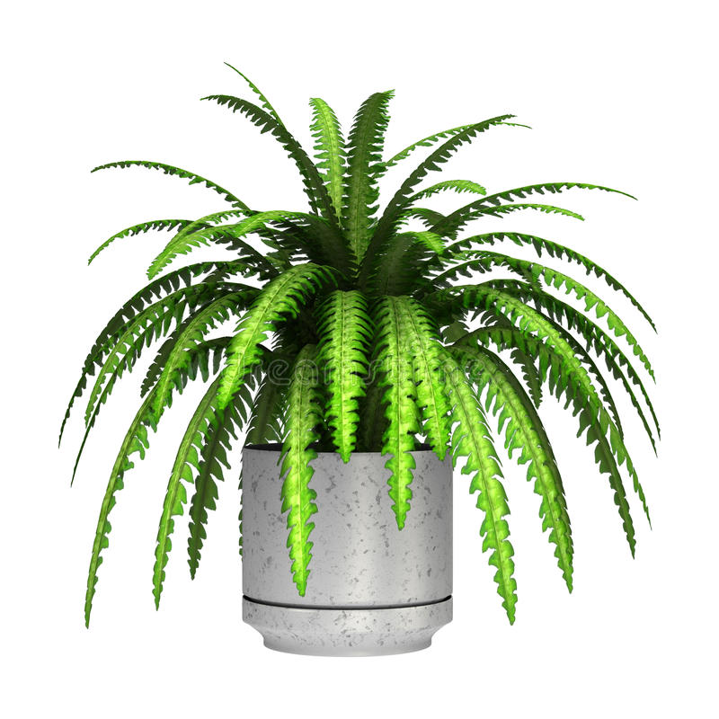 Boston Fern. 3D digital render of a green boston fern in a flower pot isolated on white background stock images