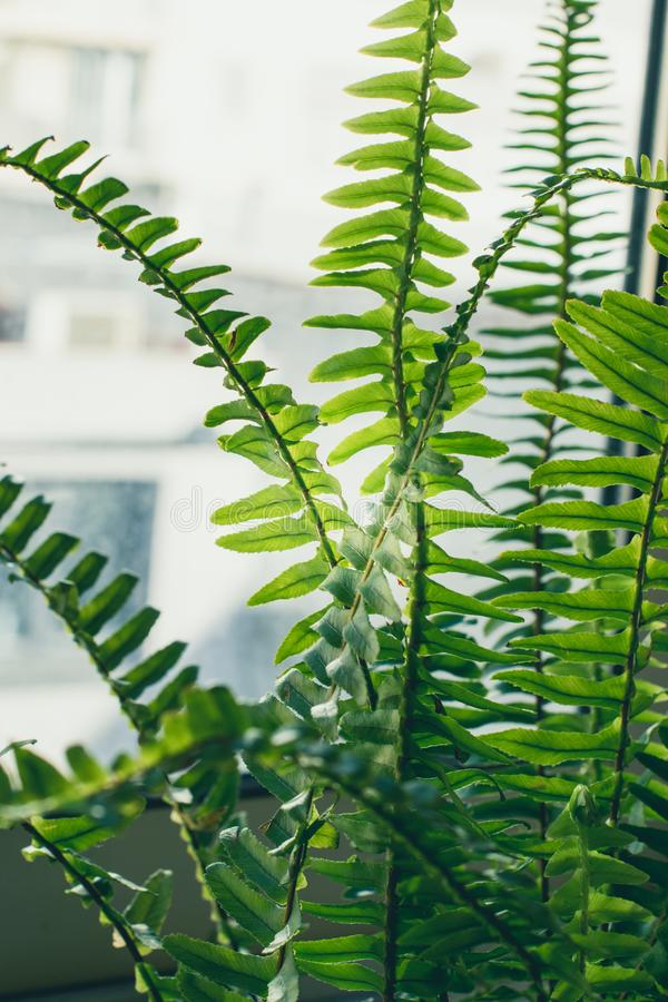 Boston fern houseplant closeup. Boston fern houseplant indoors closeup photo. Interior decoration stock photo