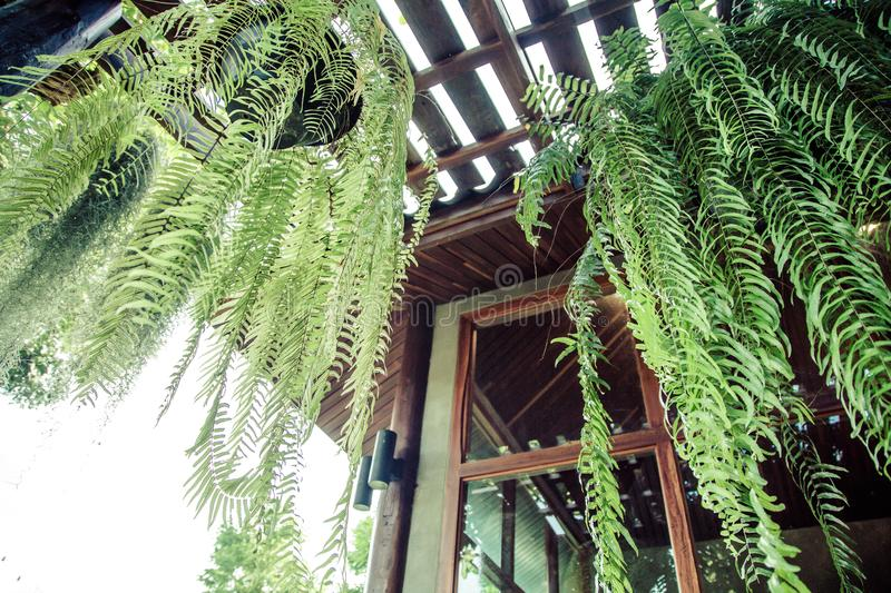 Boston Fern is a very popular house plant. Often grown in hanging baskets or similar conditions stock photography