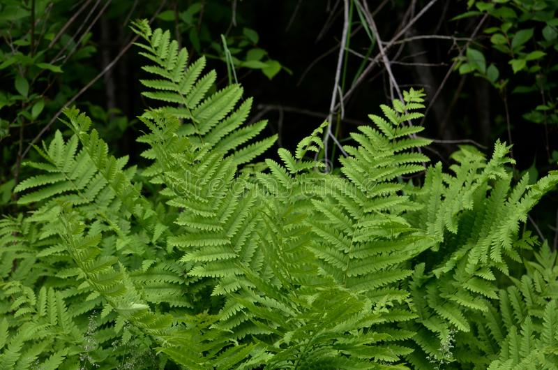 Boston Ferns in the woods of NH stock photos