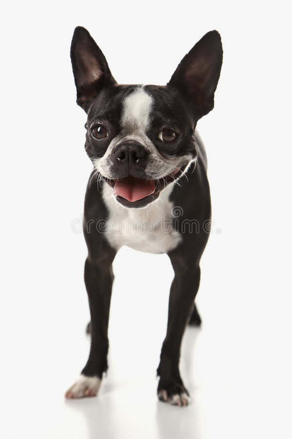boston hundterrier royaltyfri foto