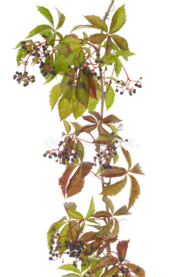 Download Boston Ivy Royalty Free Stock Photo - Image: 26417485