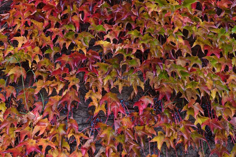 Boston ivy autumn multicolored leaves background royalty free stock photography