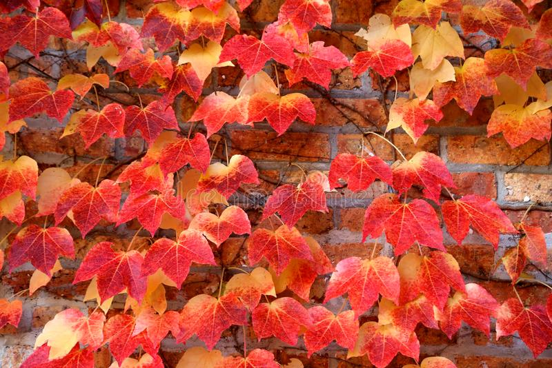 Boston Ivy stock image