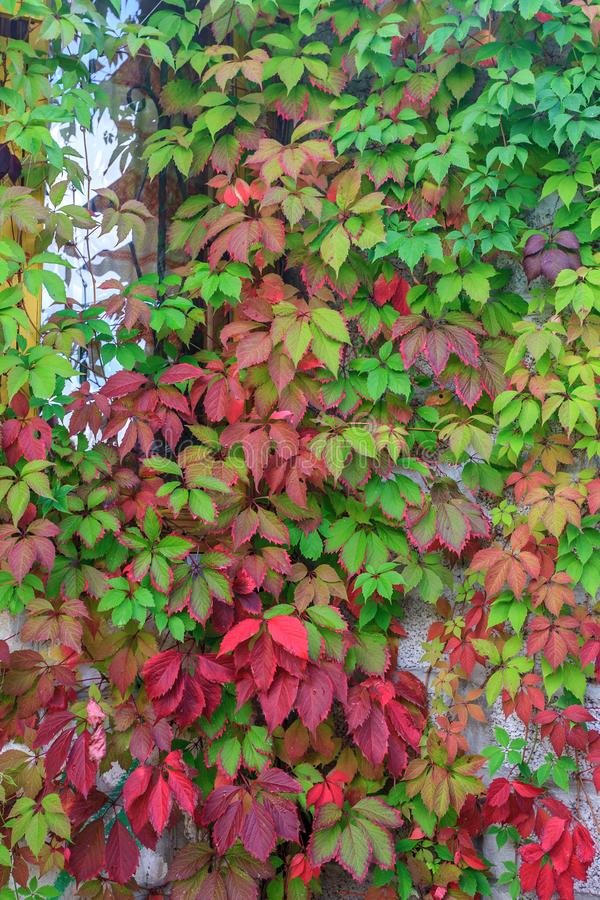 Boston ivy with colorful leaves at autumn. Natural plant vertical background. Rustic house and garden decorations stock image