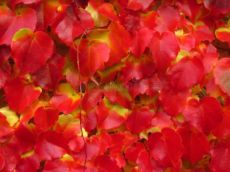Boston ivy, creeper plant Parthenocissus tricuspidata in fall, vivid red and yellow colors, natural texture, close-up. Boston ivy, creeper plant Parthenocissus royalty free stock photos