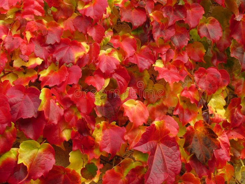 Boston ivy, creeper plant Parthenocissus tricuspidata in fall, vivid red and yellow colors, natural texture, close-up. Boston ivy, creeper plant Parthenocissus royalty free stock image