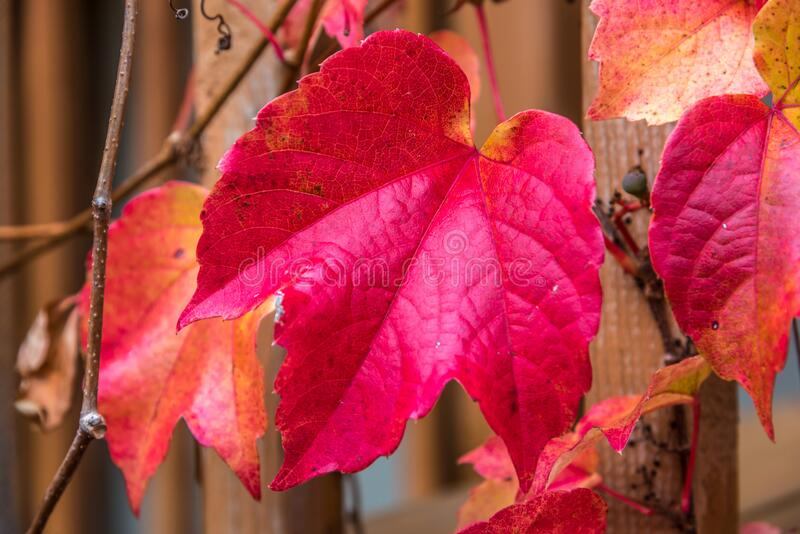 Boston Ivy leaves stock photography