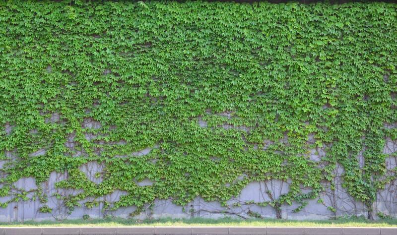 Boston ivy. A lot of beautiful boston ivy stock photo