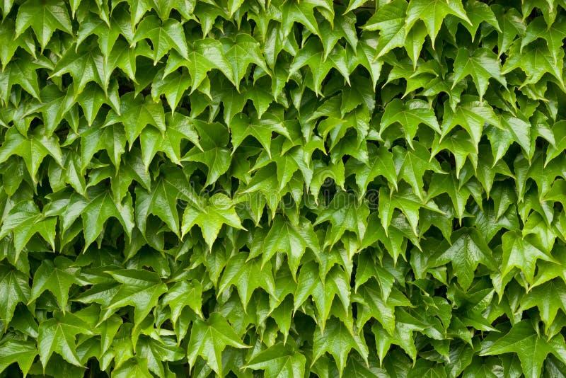 Boston ivy texture royalty free stock image